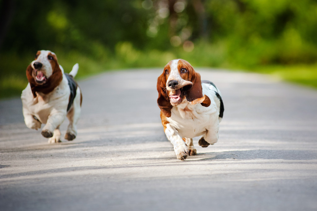 2 basset hounds at Simply Pets Online running free