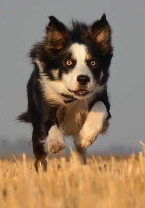 A collie running across a field