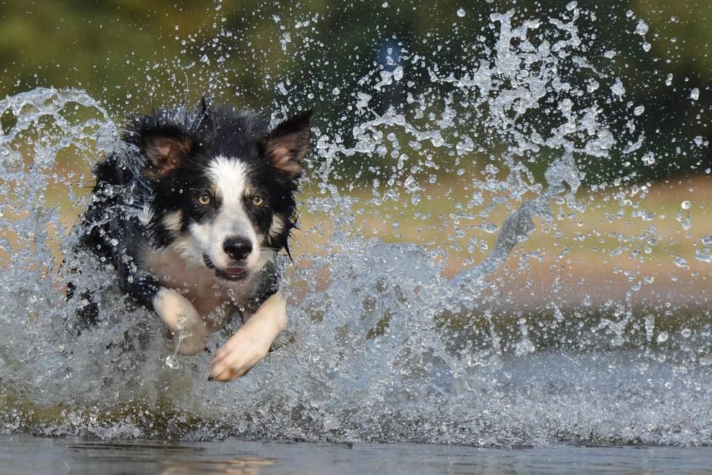 LP backgrd 1border-collie-dog exercise program