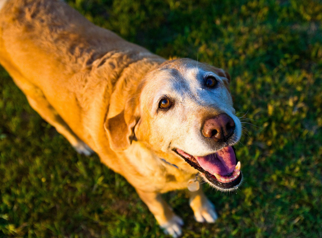 blog-1-old-dog-with-joint-pain-and-arthritis