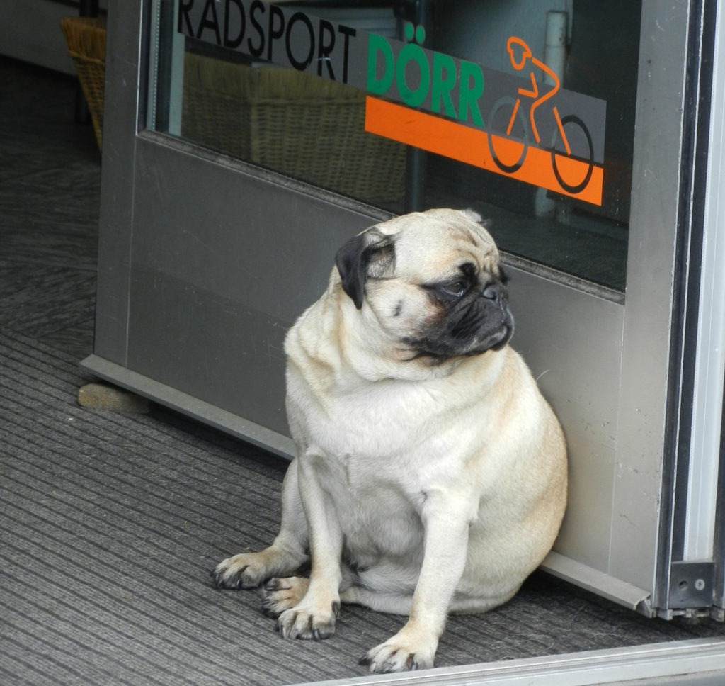blog-4-fat-old-dog-with-joint-pain-and-arthritis